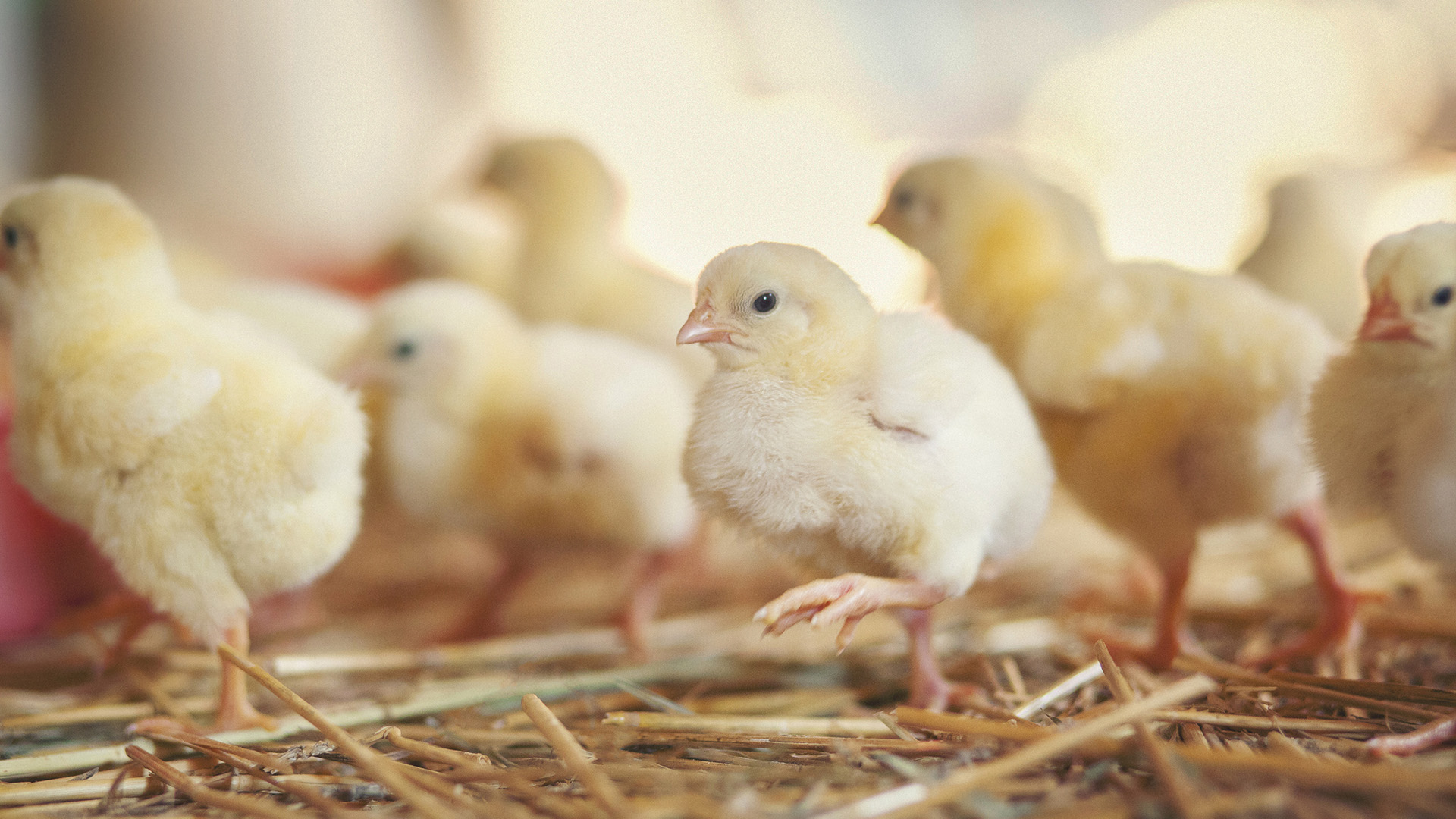 Several little yellow chicks at a farm